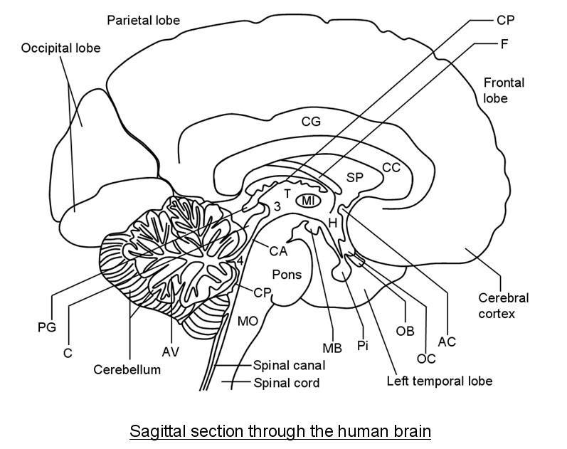 Sagittal View Of The Human Brain Labeled Gallery - human body anatomy